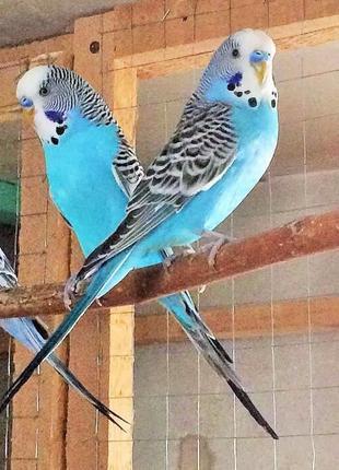 Волнистые попугаи получехи малыши С ДОСТАВКОЙ!!!