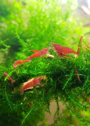 Креветки неокардины красные (фото мои). Мох яванский, мох пламя