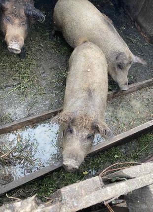 Свині породи мангал