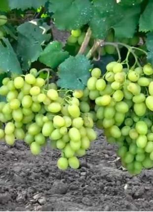 Виноград сорт Галахад