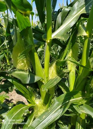 Продажа початков сахарной кукурузы.