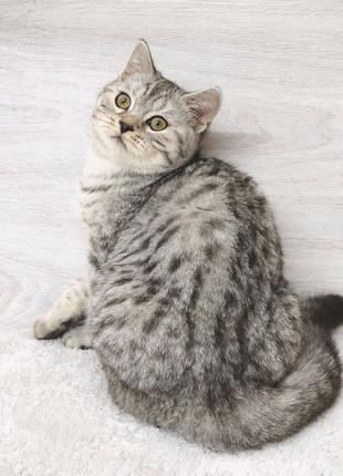 Стильный шотландский котик