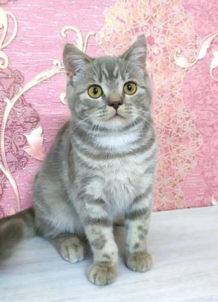 Славная шотландская кошечка, котята шотландские