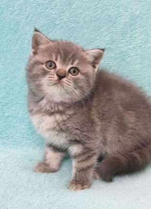 Плюшечка шотландская, котята
