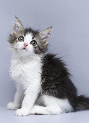 Отдам в хорошие руки глазастенькую Шэрон, котенка девочку