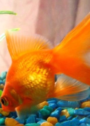 Золотая рыбка (вуалехвост)