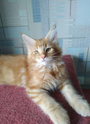 Котенок Мейн Кун мальчик срочно!