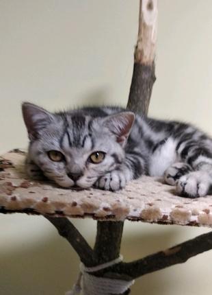 Котик шотландский прямоухий  мальчик. Роскрас (мармор на серебре)