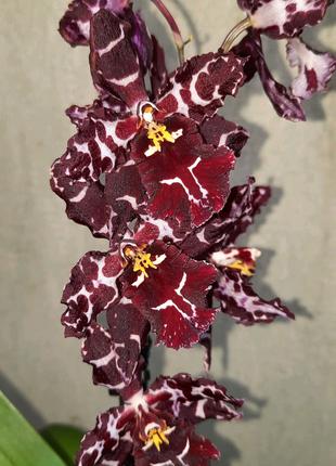 Орхидея Камбрия цветущая (ароматная)