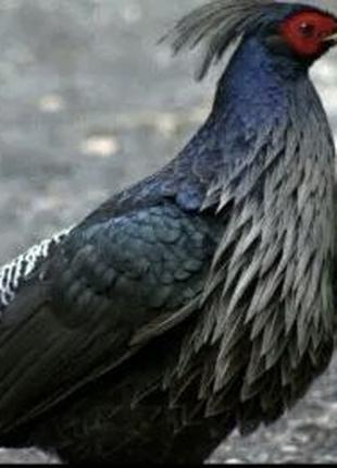 Непальский фазан пара