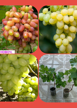 Саженцы столового винограда