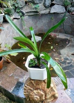 Кливия комнатный цветок растение
