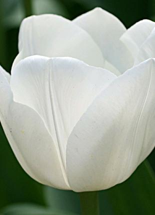 Тюльпан белый Royal Virgin (луковица) 10 грн