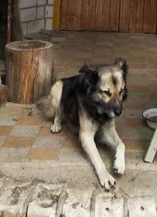 Отдам Собаку для охраны дома