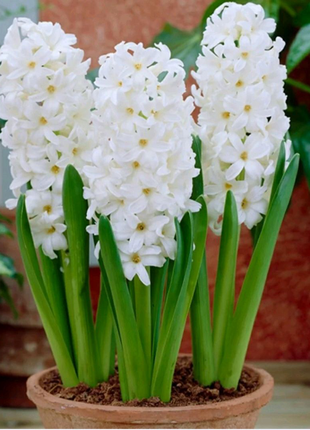Гиацинт белый Aiolos (луковица) 18 грн