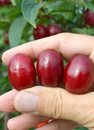 КІЗІЛ свіжі ягоди