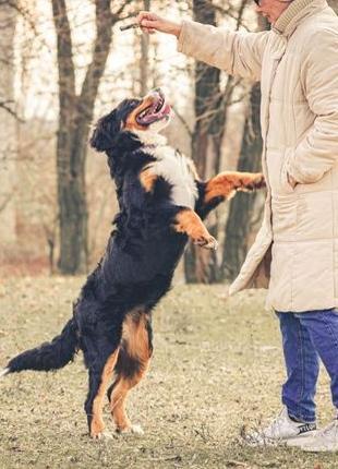 Чистопородный щенок бернского зенненхунда с международными док...