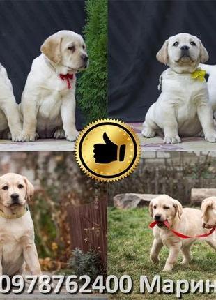 VIP Супер подарок лабрадор ретривер элитный щенок от чемпиона ...