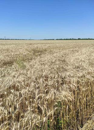 Пшеница озимая Гарантия одесская