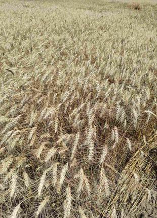 Пшеница озимая Катруся Одеская лидер в засухе