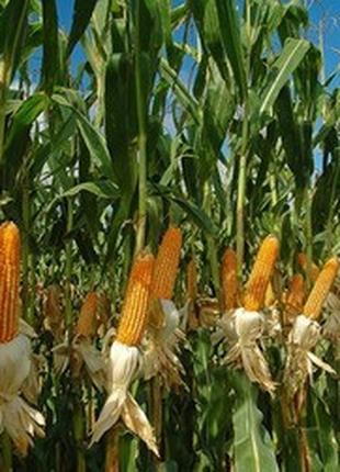 Кукуруза даниил вайбранс интеграл