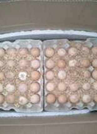 Инкубационное яйцо бройлера КОББ 500 (Чехия)