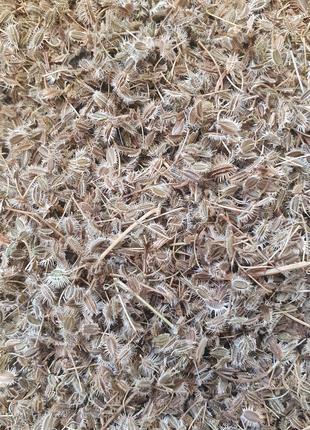 Морковь дикая семена 50 грамм (Свежий урожай)