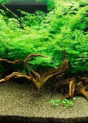 Индийский папоротник - Аквариумное растение