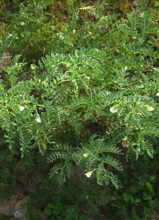 Семена нута Буджак