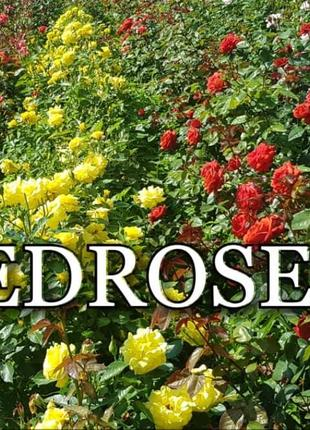 Саженцы роз от производителя EDROSES