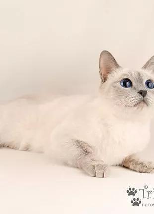 Тайские котята из питомника.