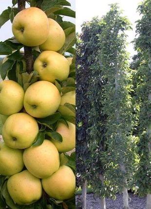 Саженцы Колоновидных плодовых деревьев