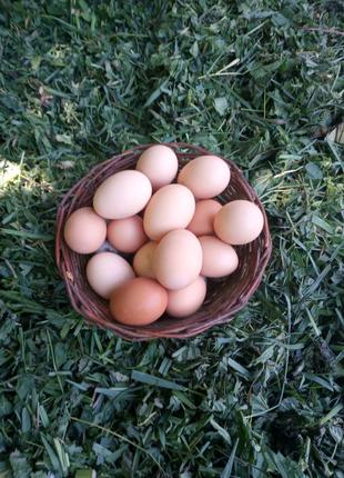 Домашні яйця курячі і перепелині